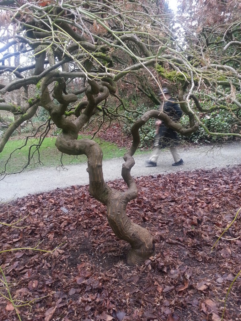 Jim talks about the Japanese vine maple (click on image)