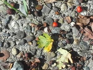 Fallen Hawthorne Berries