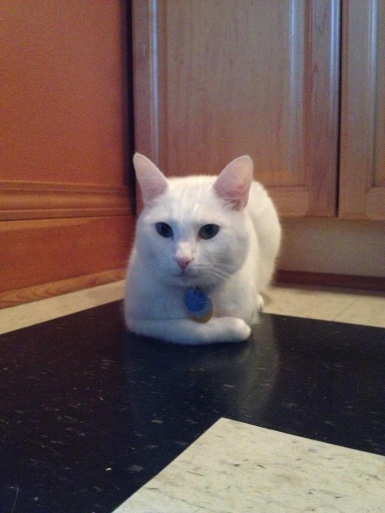 Ananda 3 legged cat copy