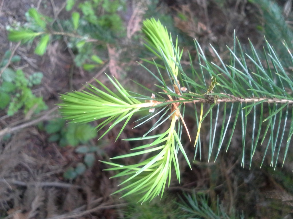 Spruce tips, edible and used in some local craft brews, Skeeter says.